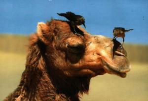фото верблюда