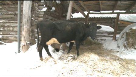 самые красивые коровы фото