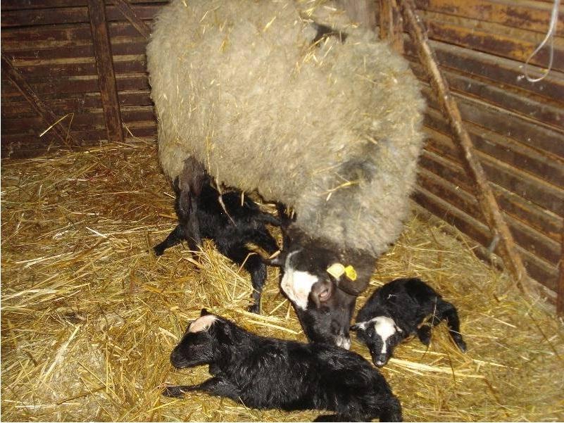 Овцы на мясо в домашних условиях 669