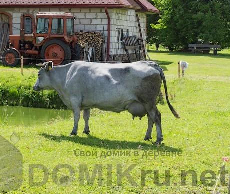 синяя латвийская корова 12