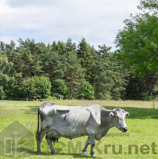 синяя латвийская корова 13