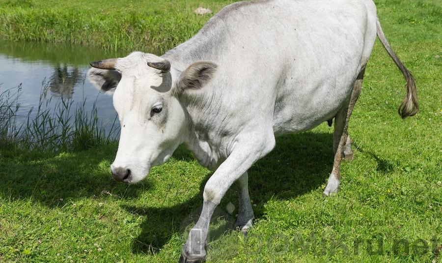 синяя латвийская корова 14