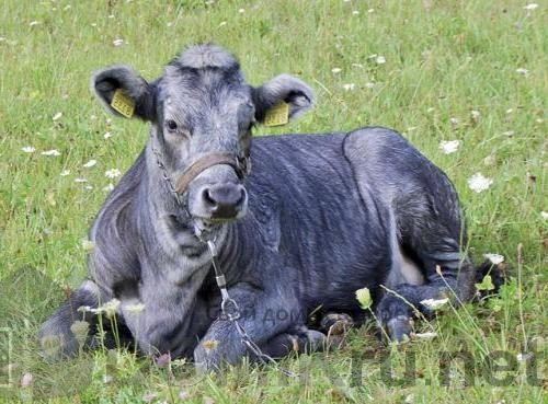 синяя латвийская корова 3