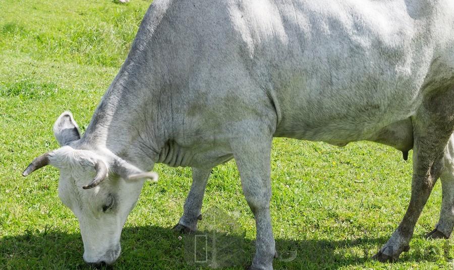 синяя латвийская корова 7