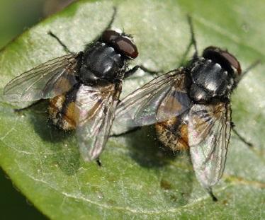 муха домашняя фото