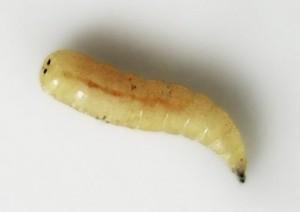 личинки мух фото