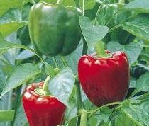 Болгарский перец маринованный  — рецепт на зиму ( с медом)