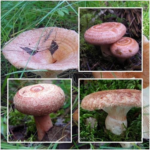 Съедобный гриб — волнушка розовая