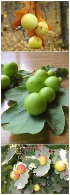 дуб галлы 2-vert