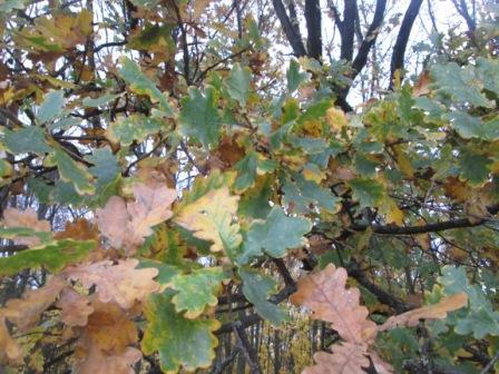дуб в осеннем лесу
