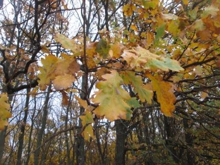 осенний дубовый листок