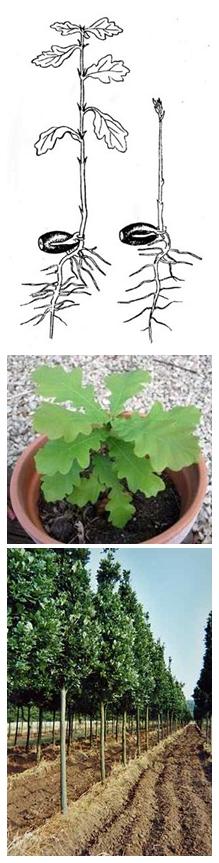 Как выращивать саженец дуба в домашних условиях