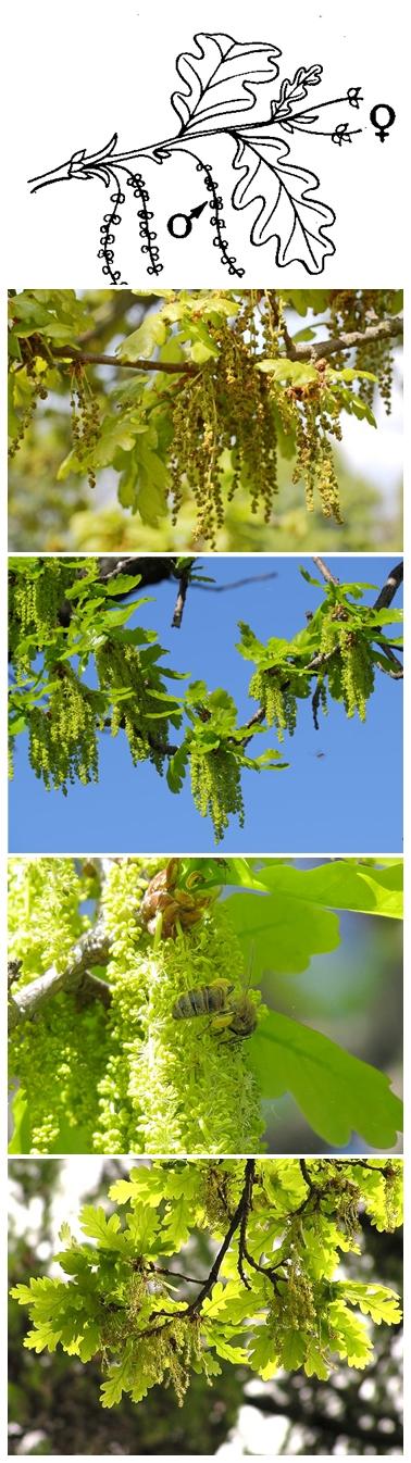 дуб цветки-vert