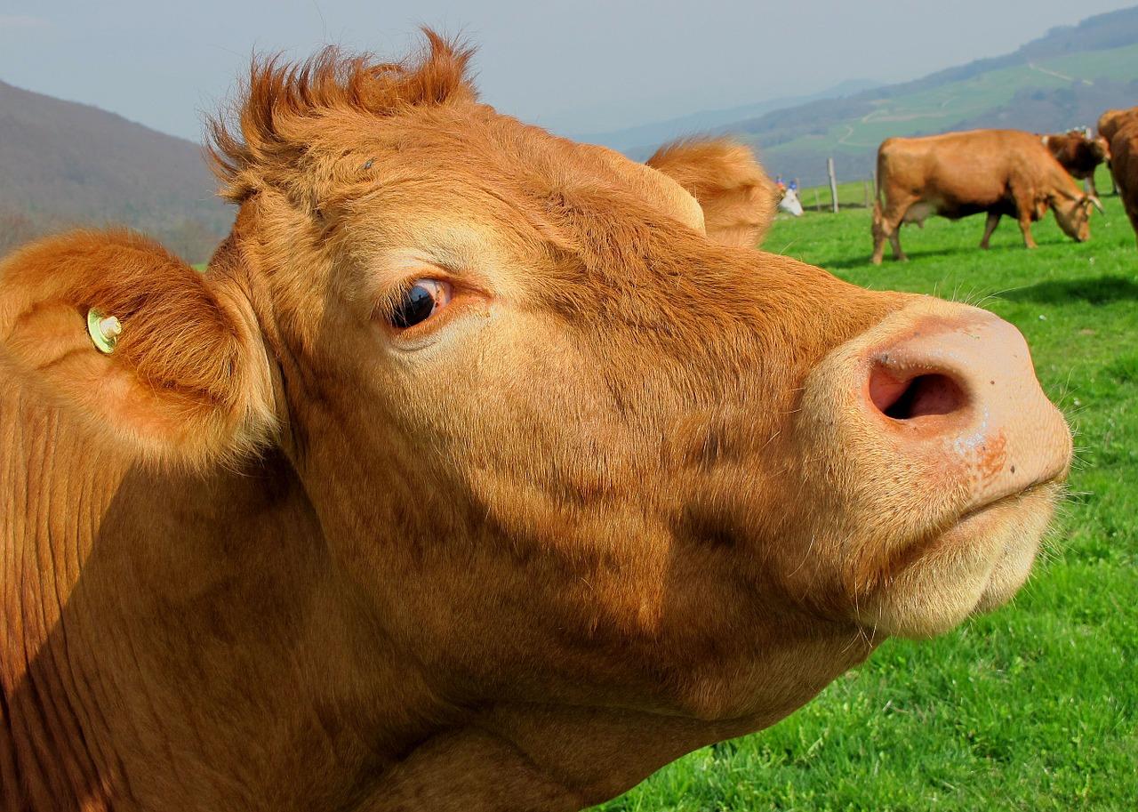 корова фото 2
