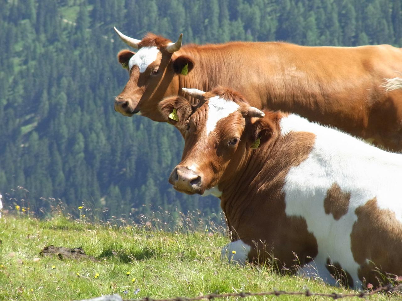 корова фото 3