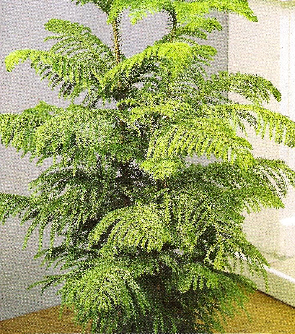 Аруакария — комнатная ель
