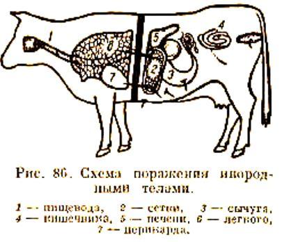 металл у коровы -травматический ретикулит