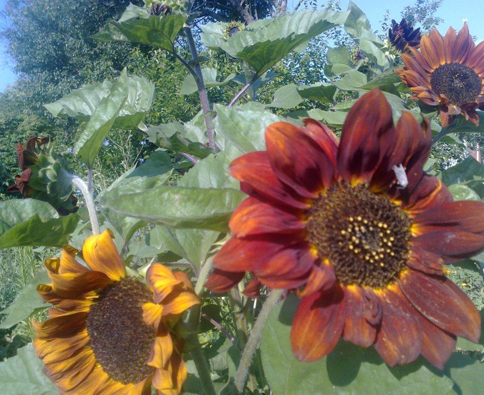 Однолетние цветы - таблица высева