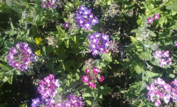 Таблица цветения однолетника