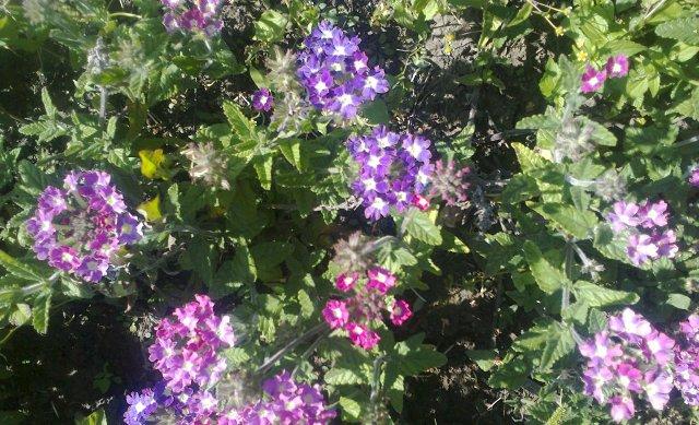 Цветник из однолетников на все лето — таблица цветения