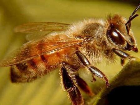 звук пчелы