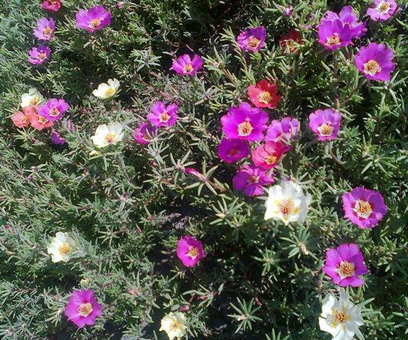 Сроки посева цветов