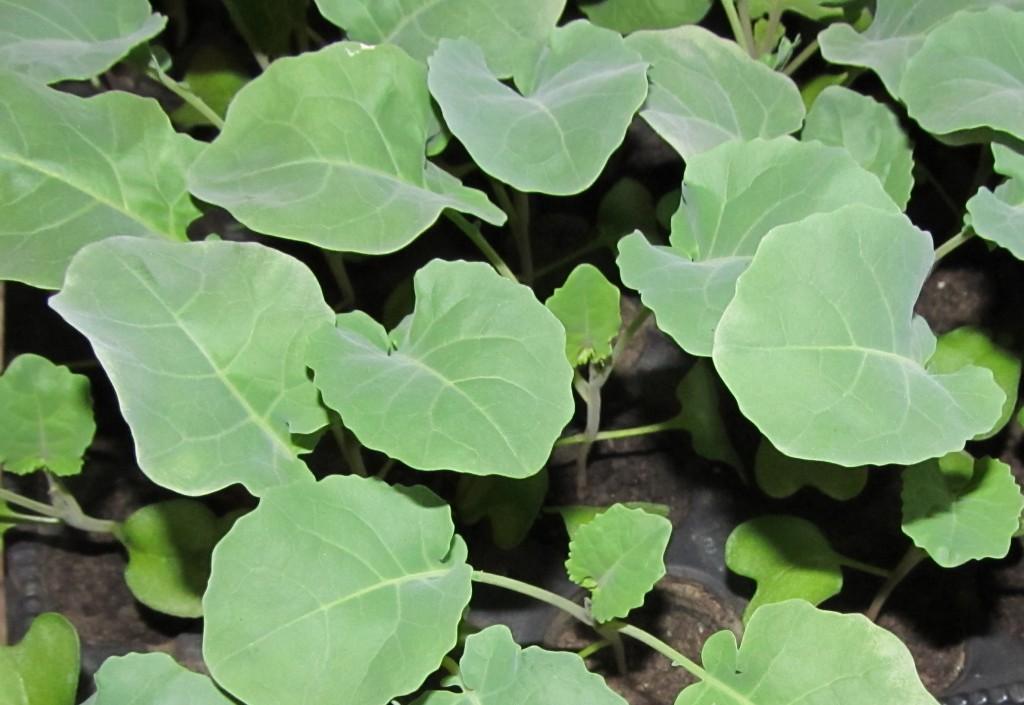 Выращивание рассады в открытом грунте — рассада капусты дома