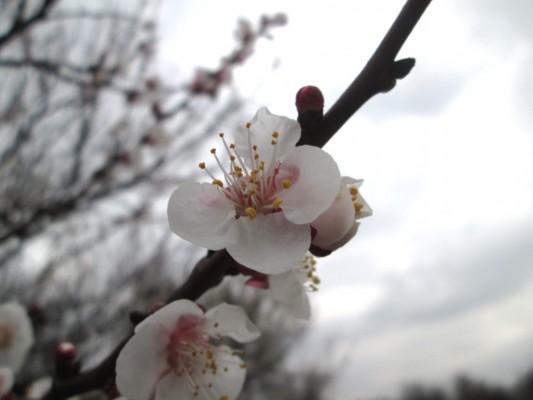 пчелы в саду - цветение садов весной