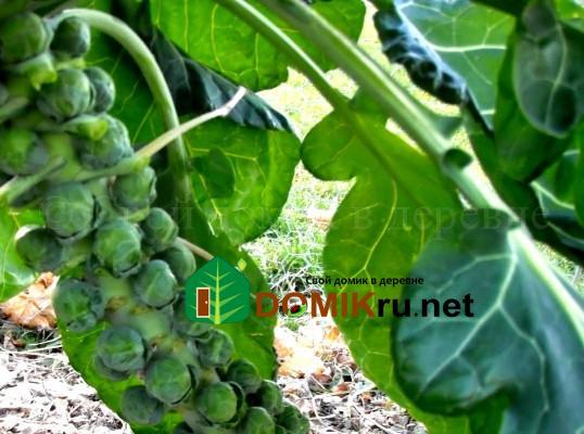 брюссельская капуста выращивание, уход, полезные свойства