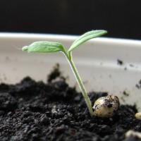 Температура прорастания семян — с какими растениями не стоит спешить?