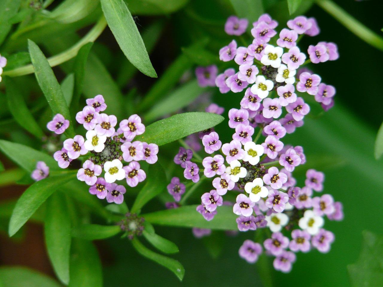 цветок арабис фото