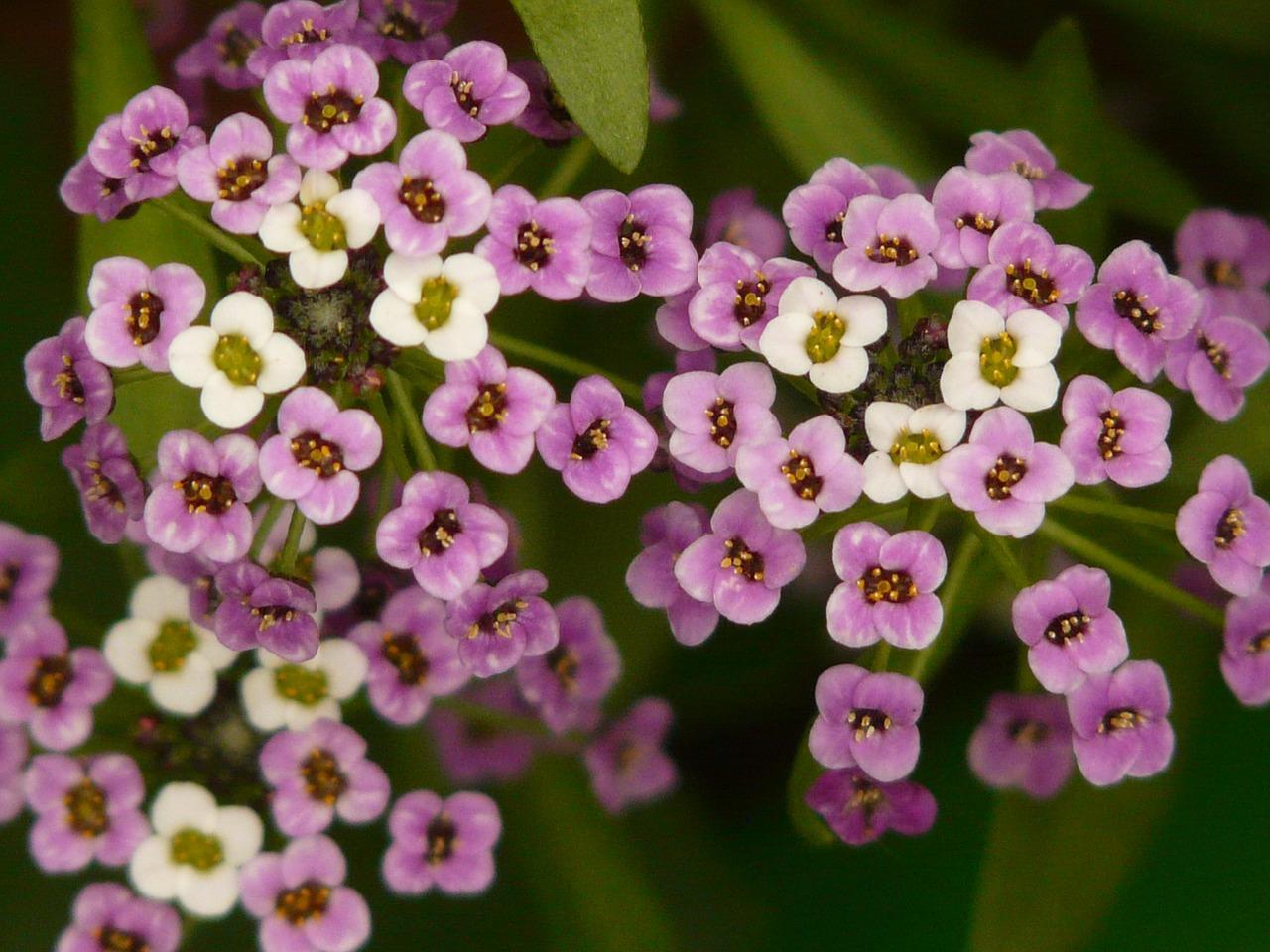 цветы арабис фото