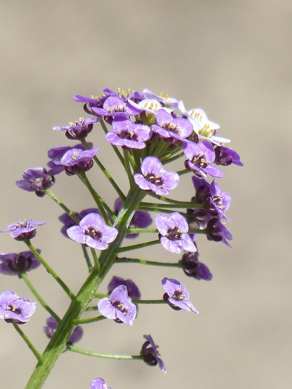 арабис фото цветов