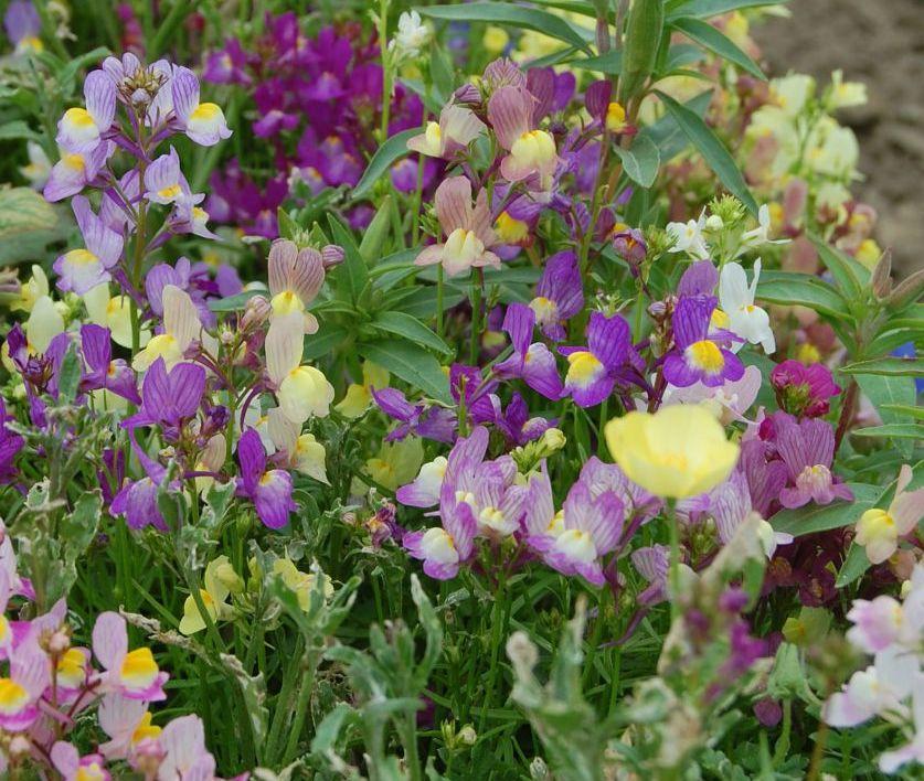 Неприхотливые однолетние цветы на дачу фото