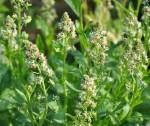 Цветок резеда душистая — ароматный новосел вашего цветника