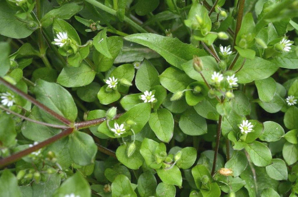 съедобные дикорастущие растения - мокрица