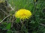 Съедобные дикорастущие растения