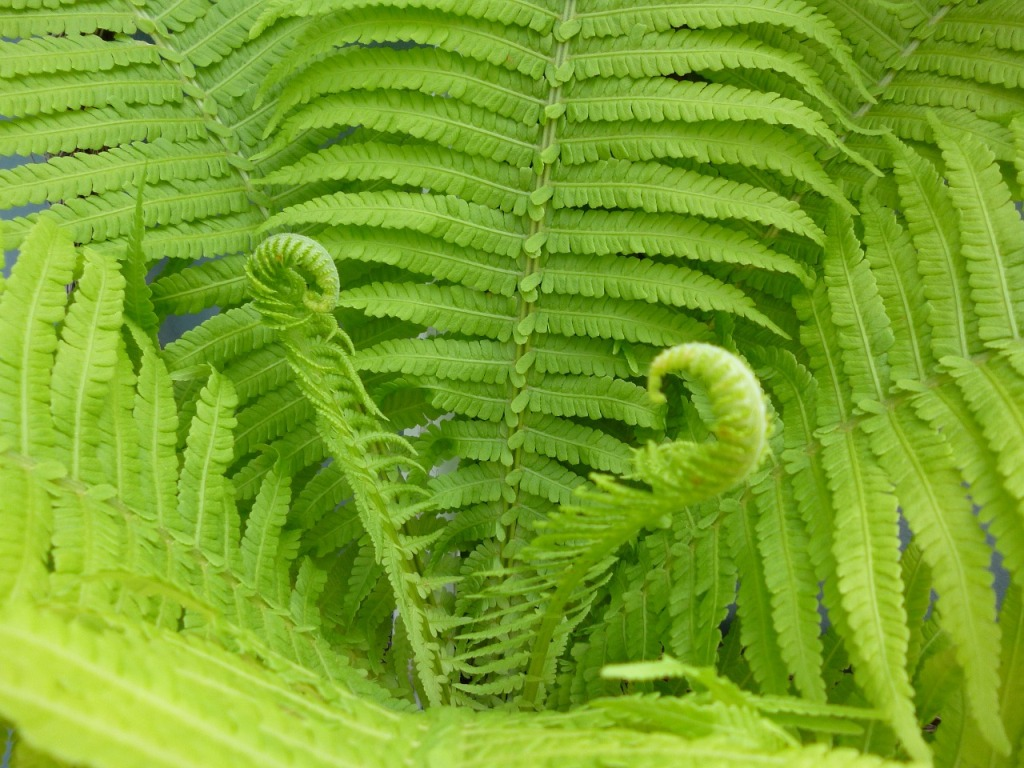 съедобные дикорастущие растения - папоротник