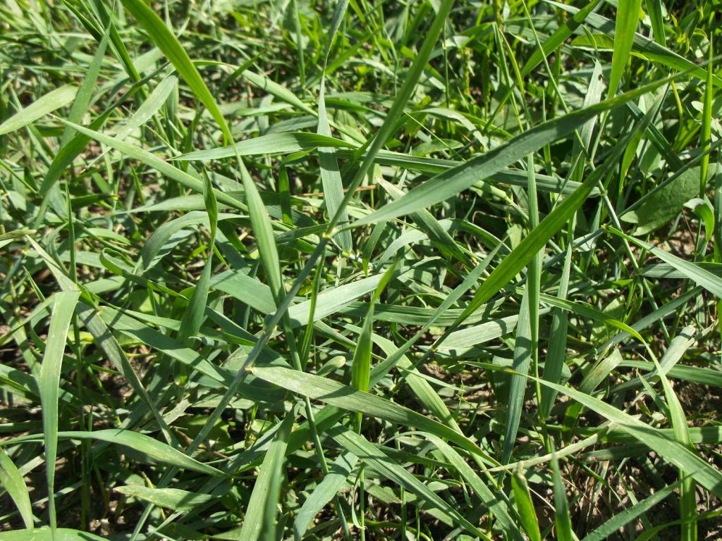 съедобные дикорастущие растения - пырей