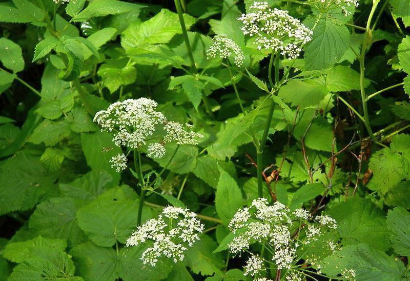 съедобные дикорастущие растения - сныть