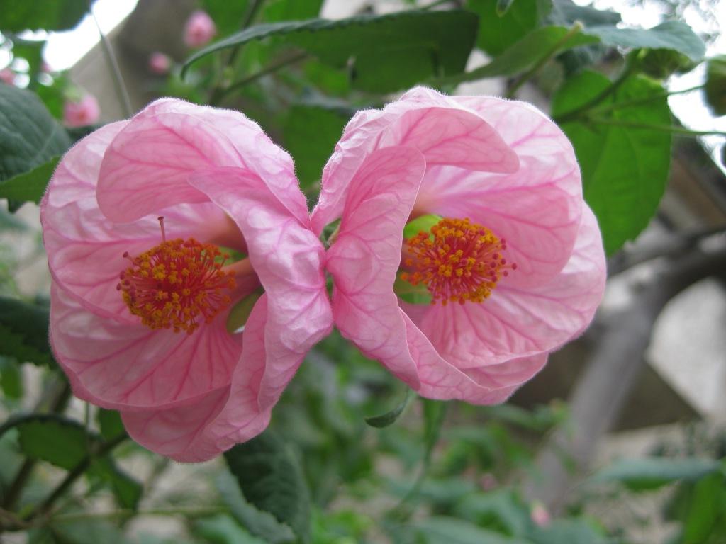 Абутилон цветок фото