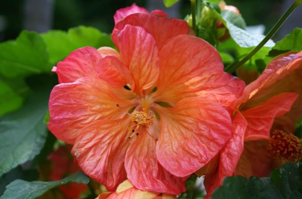 Абутилон цветы фото