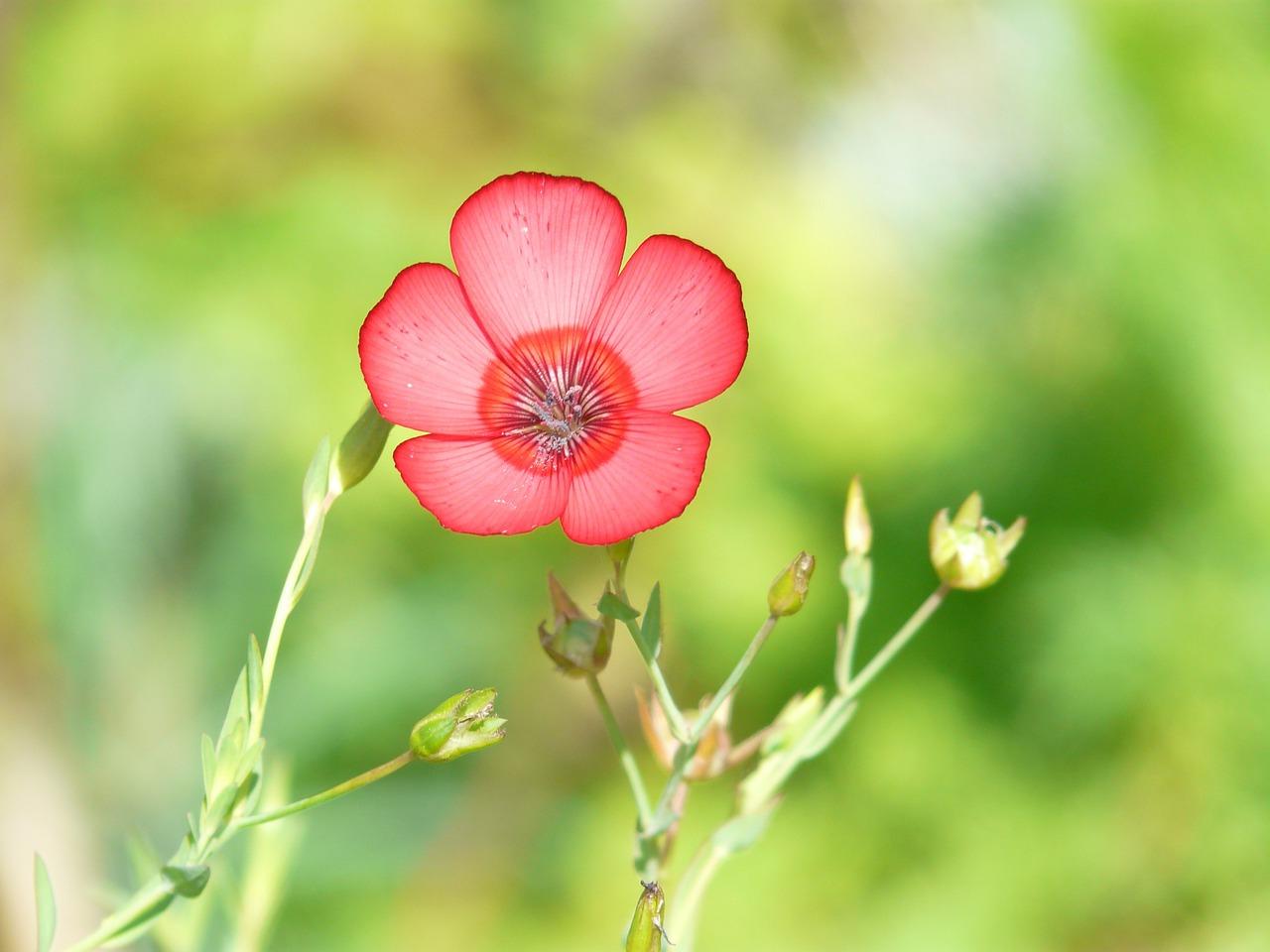 лен крупноцветковый красный фото