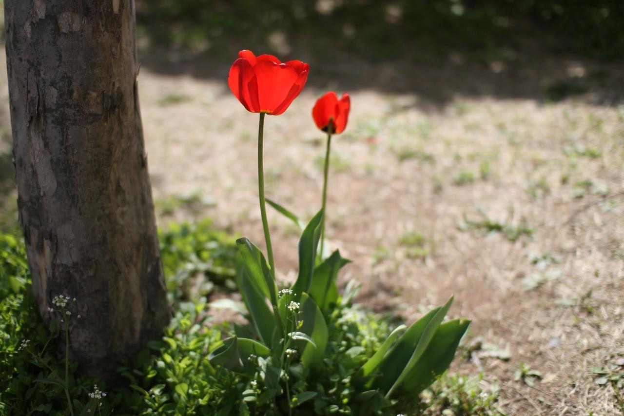 тюльпан схема посадки 15