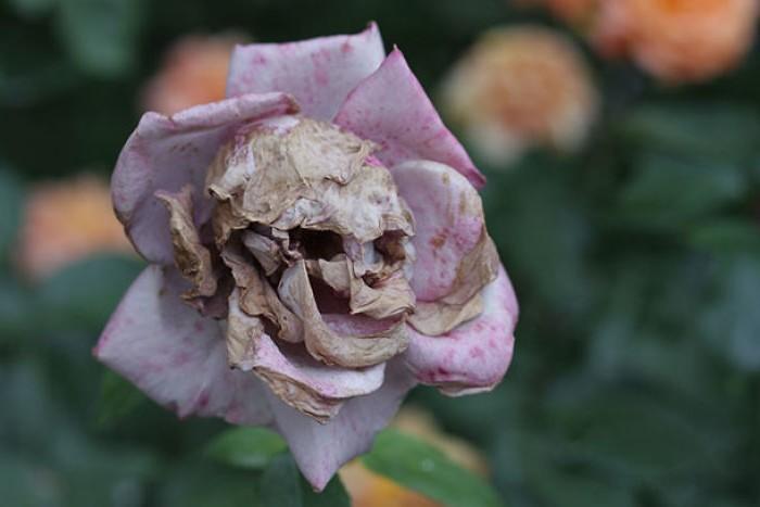 цветы похожие на фигуру человека 1