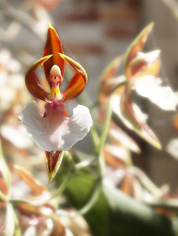 цветы похожие на фигуру человека 2