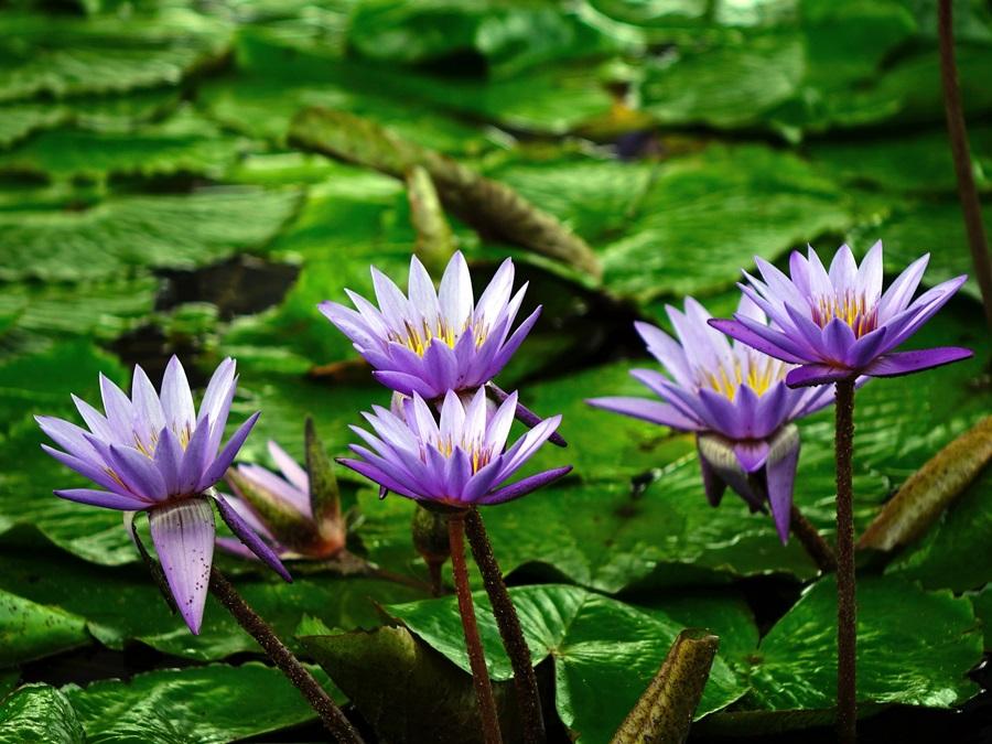 водные растения для пруда 1