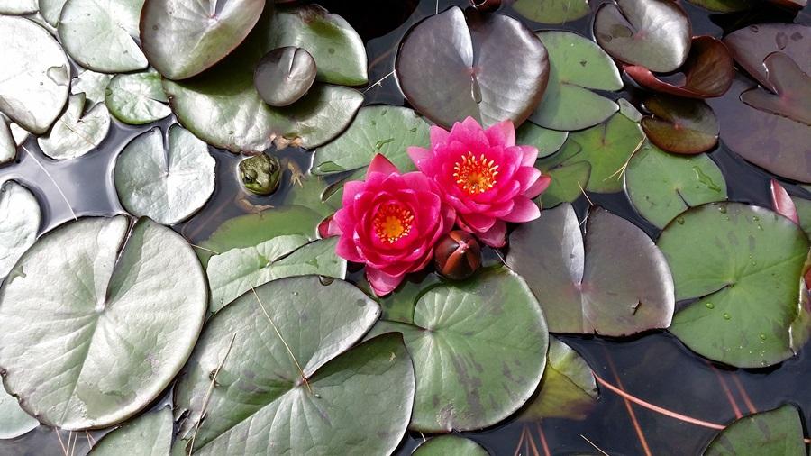 водные растения для пруда 2