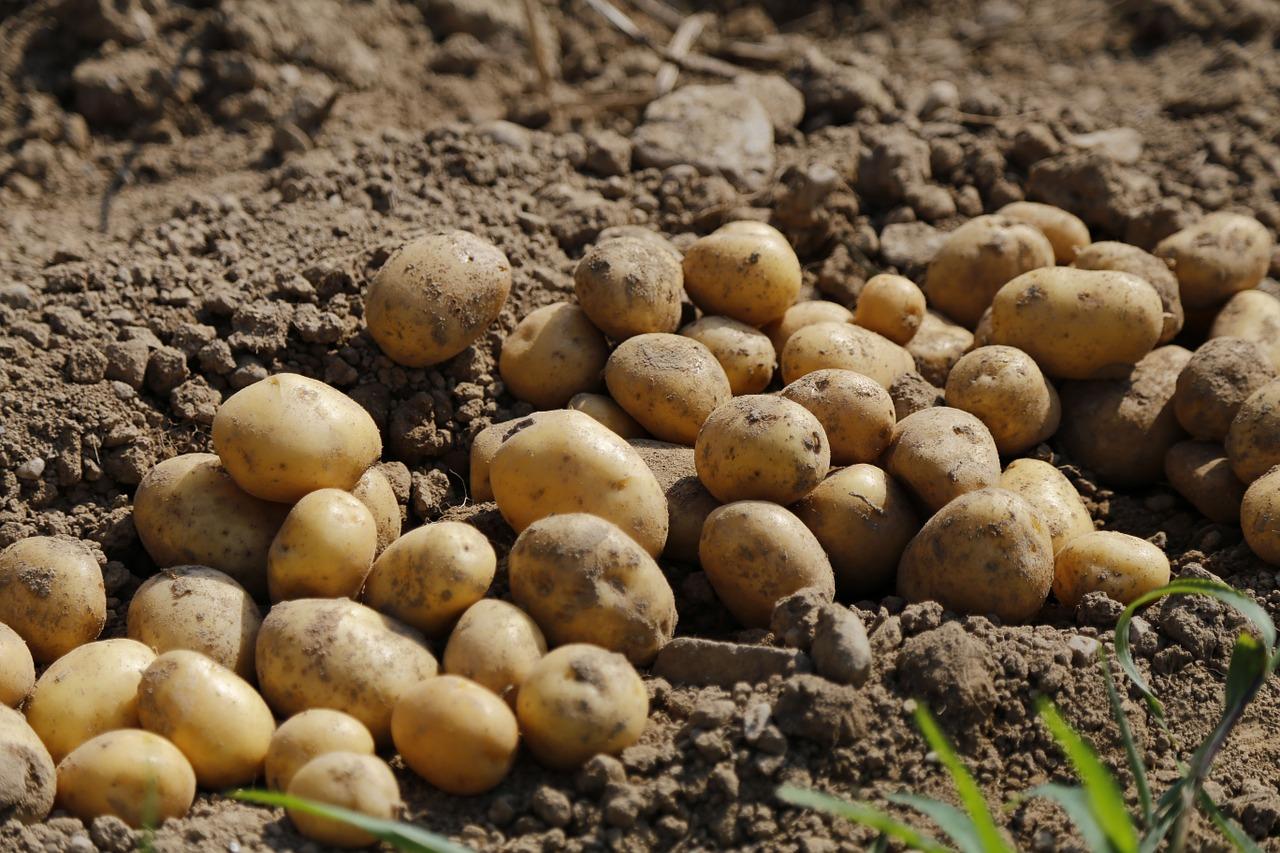 как прорастить картофель