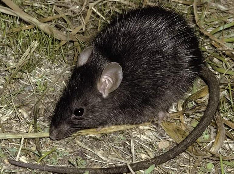 крыса на огороде фото 1